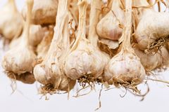 Dried garlic. Dried garlic bunch of Thai Hill Tribe in northern Thailand royalty free stock photo