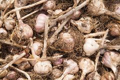 Dried garlic Royalty Free Stock Photos