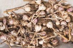 Dried garlic Stock Photo