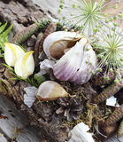 Dried garlic cloves Royalty Free Stock Photo