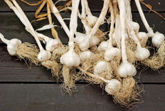 Dried garlic heads with stems ready for braiding Stock Photo
