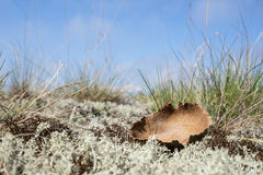Dried giant puffball. Young white mushroom is edible fungus. Calvatia gigantea, blue sky, moss and grass in background. Stock Image