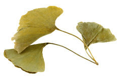 Dried Ginkgo biloba leaves in yellow green shade, isolated on wh Royalty Free Stock Image