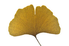 Dried ginkgo leaf. On white background Stock Image