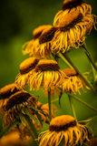Dried Golden yellow echinacea Royalty Free Stock Photos
