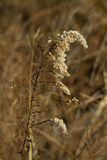 Dried Goldenrod Seed Plume Background Royalty Free Stock Photo