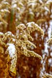 Dried goldenrod Solidago is covered with snow in winter royalty free stock photo
