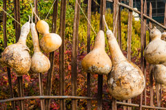 Dried gourds hanging from a fence Stock Images