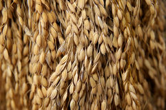 Dried grain Stock Photography
