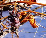 Dried grapes hanging on the stem. Royalty Free Stock Photography