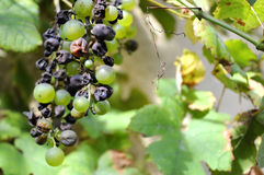 Dried grapes in a vineyard. Royalty Free Stock Image