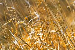 Dried Grass Stock Photography