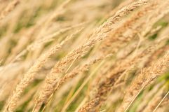 Dried grass Stock Photo