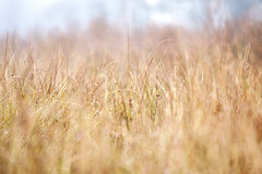 Dried Grass Background Royalty Free Stock Photo