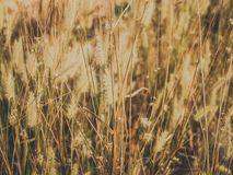 Dried Grass Field Royalty Free Stock Photography