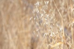 Dried grass in a field, Victoria, BC. Canada Stock Photos