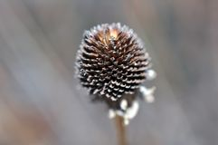 Dried grass flower Stock Images