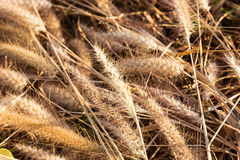 Dried grass flower on the ground Royalty Free Stock Image