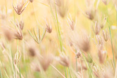 Dried grass flowers in the natural Royalty Free Stock Photos