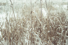 Dried grass with frost Royalty Free Stock Photo