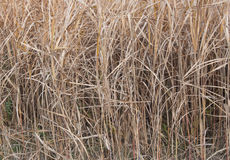 Dried grass of winter Royalty Free Stock Photos