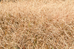 Dried grass of winter Royalty Free Stock Photography