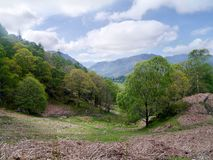 In dried grass and wooded area. On hillside in spring with dried grass looking through trees to the Borrowdale valley Stock Image