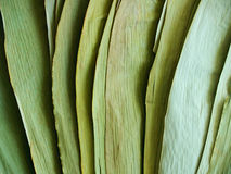 Dried green bamboo leaves in light and shadow. Spread fan of large, flat, dried green bamboo leaves in light and shadow Stock Image