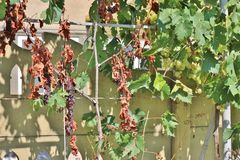 Dried and green grape vine. A dried purple grape vine next to a healthy green one in the summer Stock Photo
