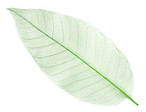 Dried green leaf isolated on white stock photo