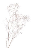 Dried gypsophila Stock Photo