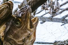 The dried heads of fish cod which are hanged out stock image
