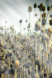 Dried herb burdock - thistle lit by the sun's rays Royalty Free Stock Image