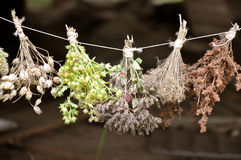 Dried herbs bound in bundles. Royalty Free Stock Image