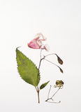 Dried Himalayan Balsam for herbarium with flowers. Dried plants for a herbarium on white background isolated Royalty Free Stock Photo