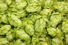 Dried hop cones Stock Images
