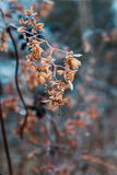 Dried hop flowers. In hoarfrost Stock Photos