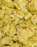 Dried Hops. Dehydrated hop leaves cones Centennial Royalty Free Stock Photos