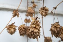 Dried hops on the vine stock photography