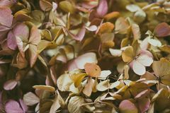 Dried hydrangea flower stock photography