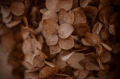 Dried hydrangea flower head texture Stock Photo