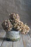 Dried hydrangea Stock Image