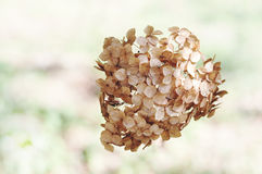 Dried Hydrangea flowers Royalty Free Stock Image