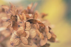 Dried hydrangea flowers Royalty Free Stock Photo