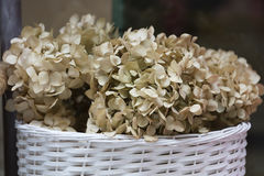 Dried hydrangea in the vase Royalty Free Stock Photography