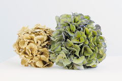 Dried hydrangeas Stock Images