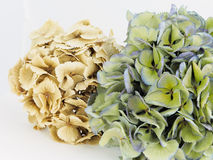 Dried hydrangeas Stock Photos