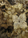 Dried Hydrangeas in Textured Background with Singl. Closeup of hydrangea flower showing textured veins of flower petals stock photography