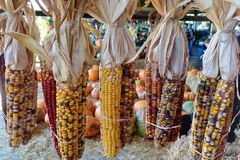 Dried Indian corn Royalty Free Stock Photo