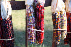 Dried Indian Corn Royalty Free Stock Images